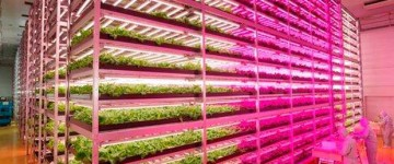 Future of agriculture – Expert produce 10,000 lettuce heads a day in LED-lit indoor farm