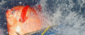 Researchers find the first warm blooded fish