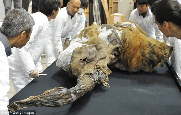 A 39,000 year old female baby mammoth nicknamed Yuka (pictured) is one of the best preserved woolly mammoths to have been found in the Siberian permafrost. A new laboratory based in the Siberian city of Yakutsk aims to use finds like this in an attempt to clone the extinct ice age giant