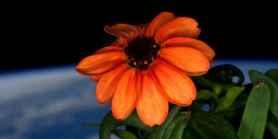 NASA astronauts grow first ever flower in space
