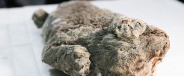 Scientists could CLONE 50,000-year-old cave lion cub after it was found perfectly preserved in Siberia