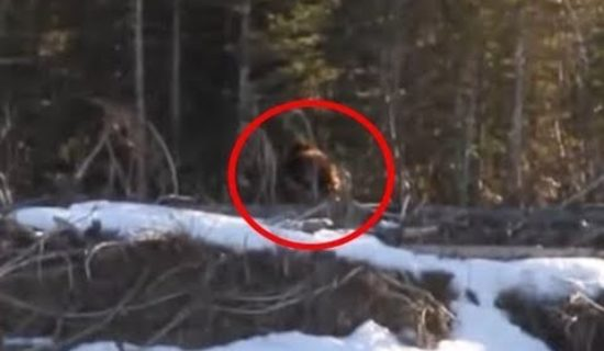 New Bigfoot Footage Filmed In Canada