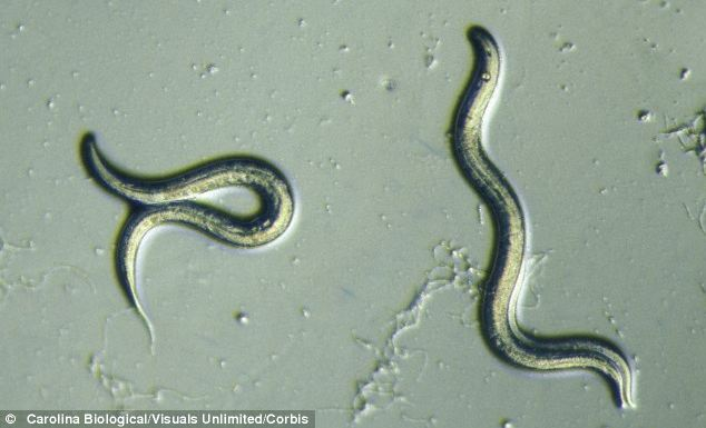 U.S. scientists tweaked two genetic pathways in the tiny lab worm Caenorhabditis elegans (pictured) and boosted the creature's lifespan by a factor of five
